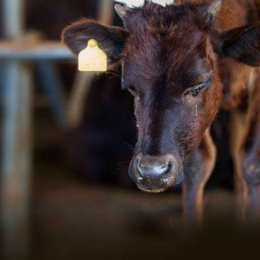 An Australien – stoppen Sie den Export von schwangeren Kühen