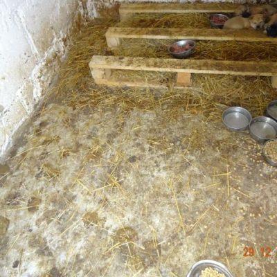 Vor unserer Ankunft: Diese Welpen lebten in ihrem Dreck. Wir haben täglich sauber gemacht, Wasser gegeben und Nassfutter für Welpen. Die Welpen sind in ein anderes rumänisches Tierheim gekommen, damit sie nicht bei den frostigen Temperaturen im freien leben müssen, ohne Wärme.