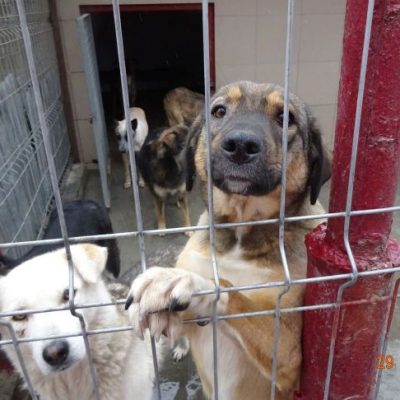 Dieser Bereich war nicht überdeckt und die Hunde waren dem Regen und Schnee ausgesetzt. Wir haben es geschafft am 6.01.2020 alle 20 Zwinger zu überdecken. Alleine die Anbringung der Platten von 5 Männer einer örtlichen Firma hat 4700 Lei gekostet (Feiertagszuschlag) das bedeutet ein Tausend Euro. Die Politcarbonat Platten die Lichtdurchlässig sind waren auch sehr teuer, ca. 4500 Euro für alle Zwinger. Wir bitten um Spenden, damit wir weiterhin Hunden in großer Not helfen können. Danke.